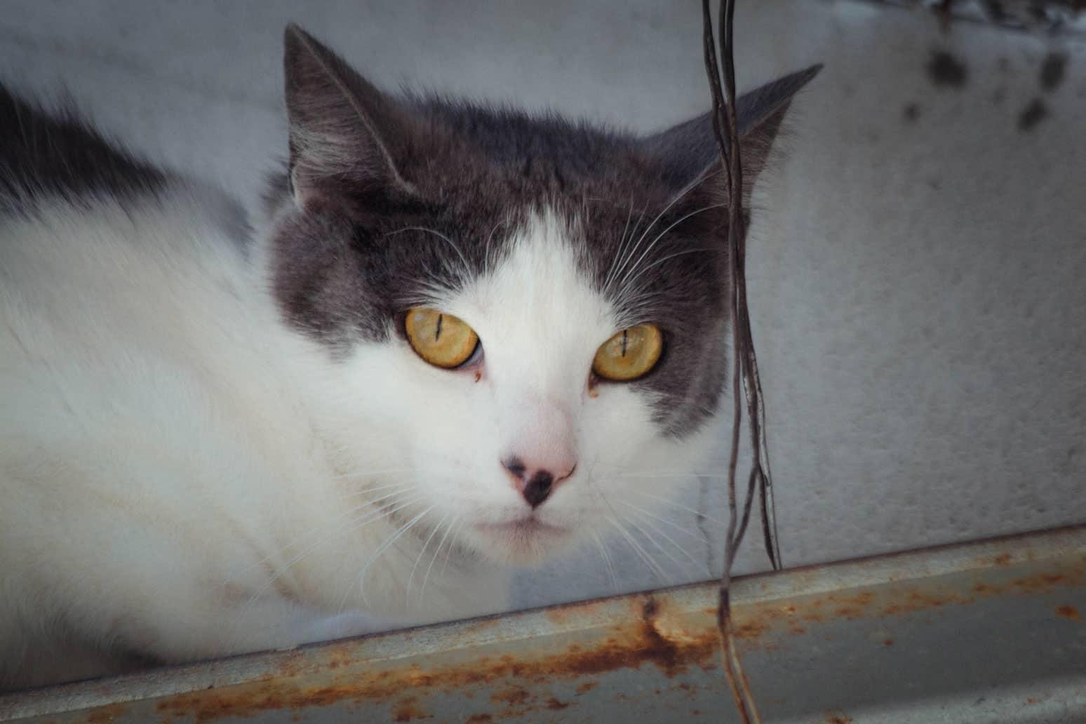 Beverly – Katze liegend