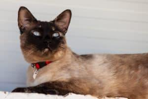 Dasha – Katze liegend