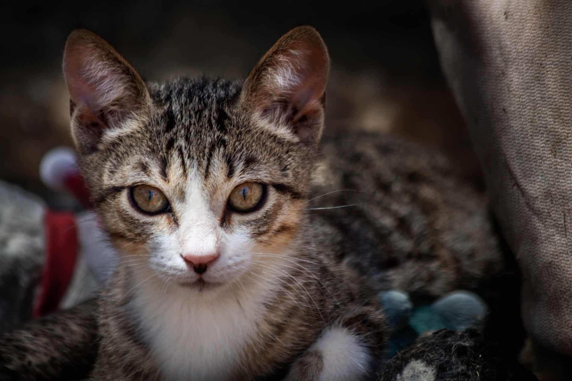 Etu – Kitten