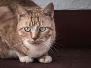 Katze – Runa