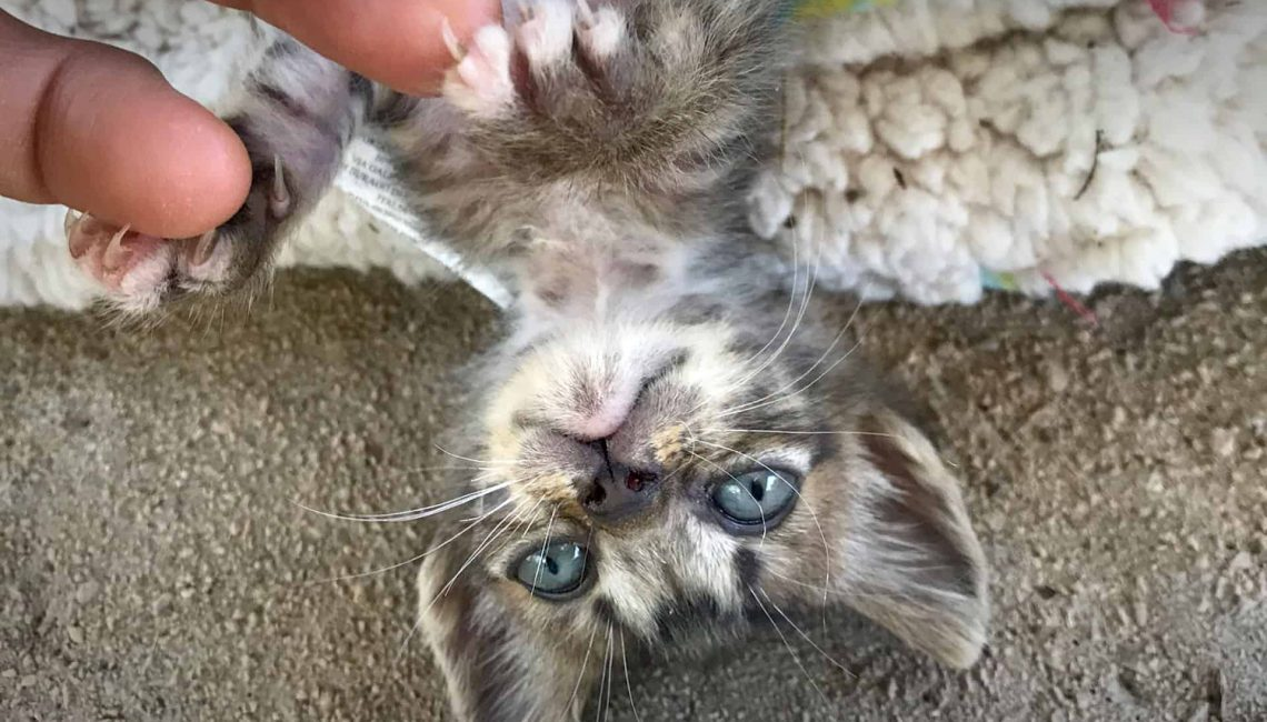 Tabby Kitten klein